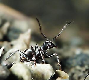 7inew_ant_wasureta_metal
